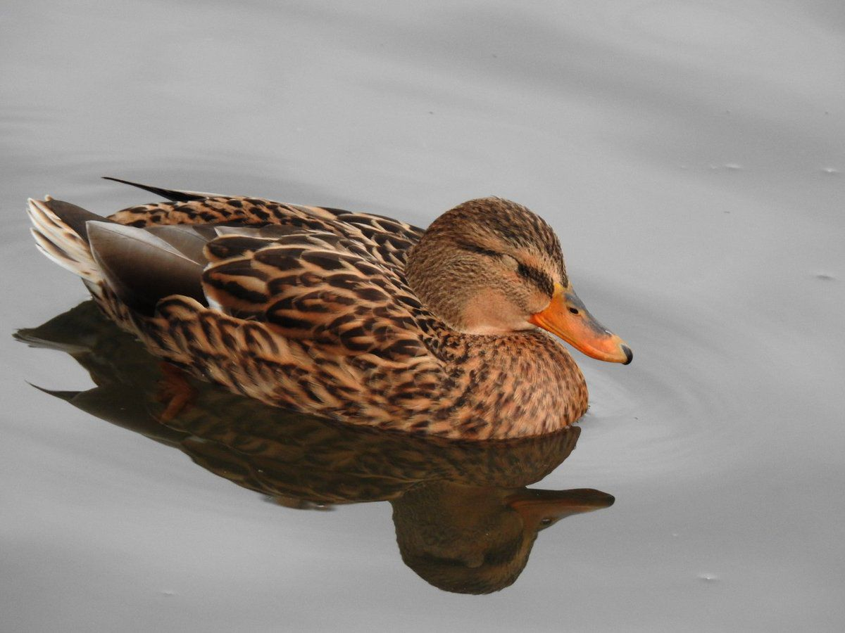 Série sur les canards de l'Aude (2eme partie)