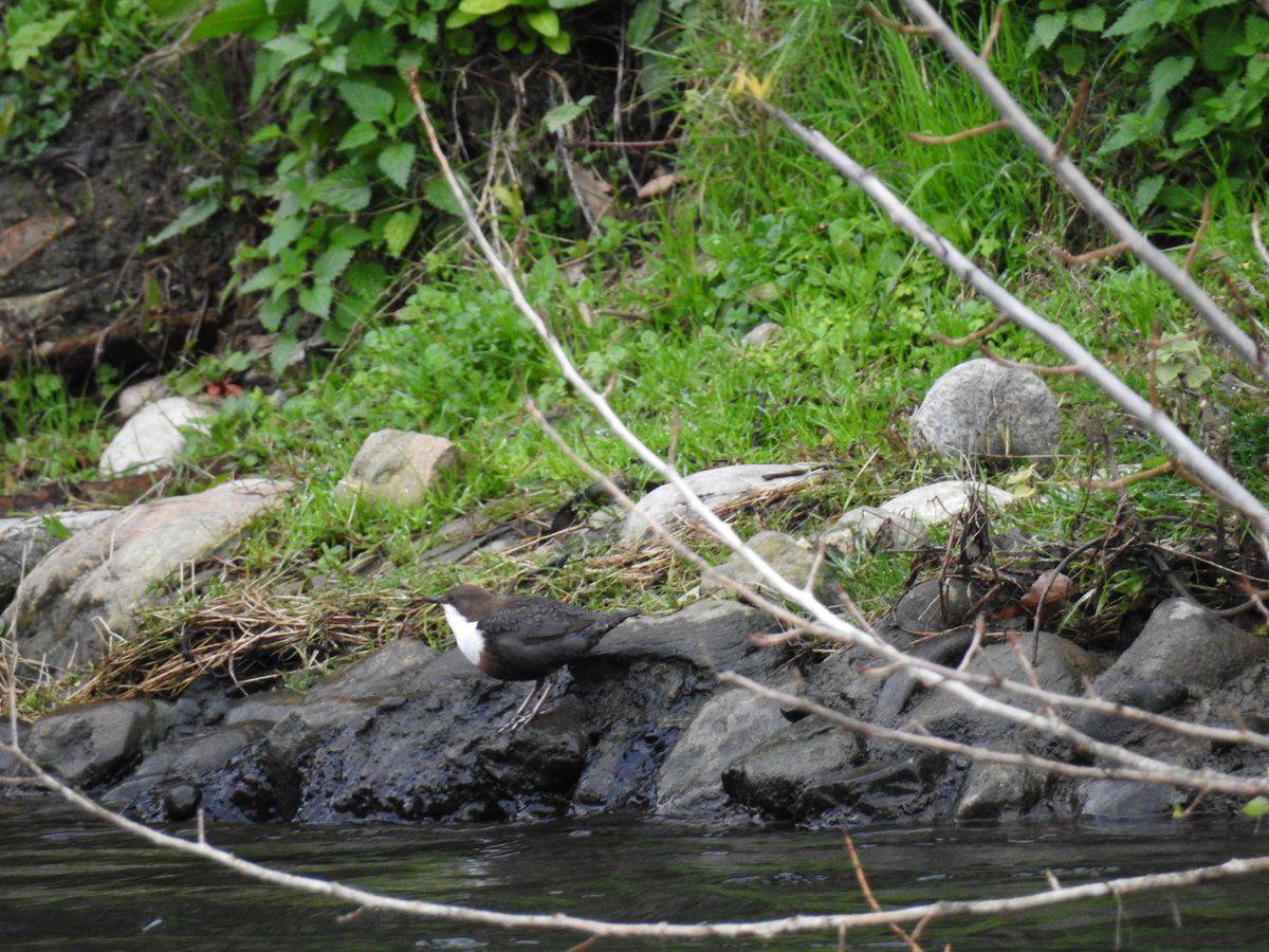 Cincle plongeur, bergeronnette des ruisseaux et canards de l'Aude