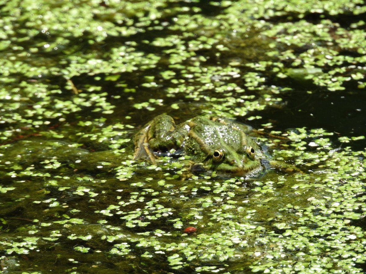 Les grenouilles vertes chantent sur le Blau