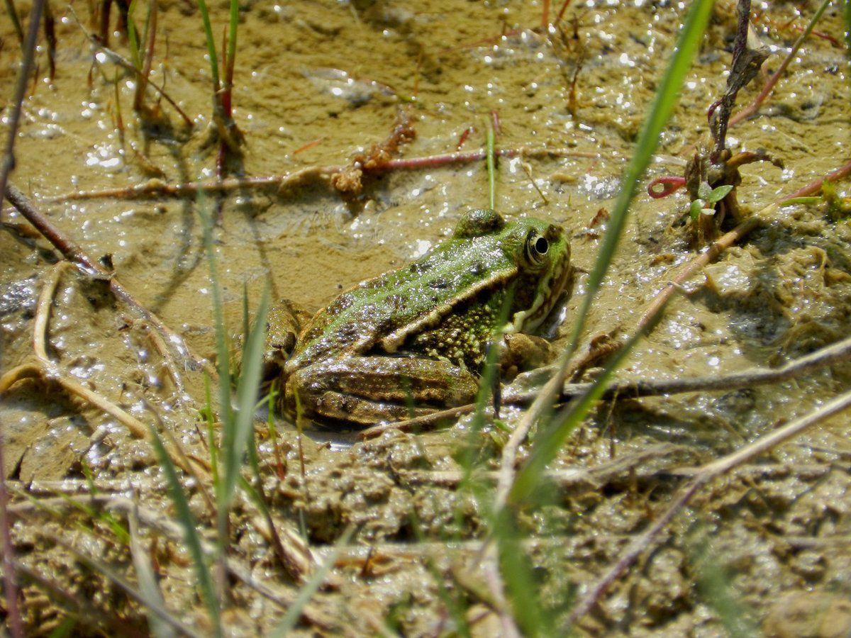 Les grenouilles vertes du Blau profitent de l'été
