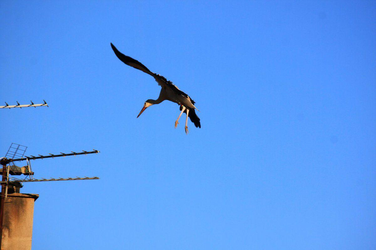 Les cigognes à Malras le 10 octobre au matin (première partie)