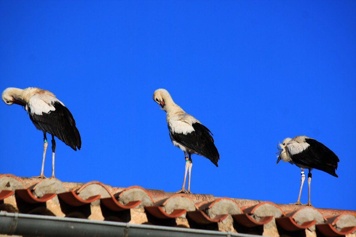 Les cigognes à Malras le 10 octobre au matin (deuxieme partie)