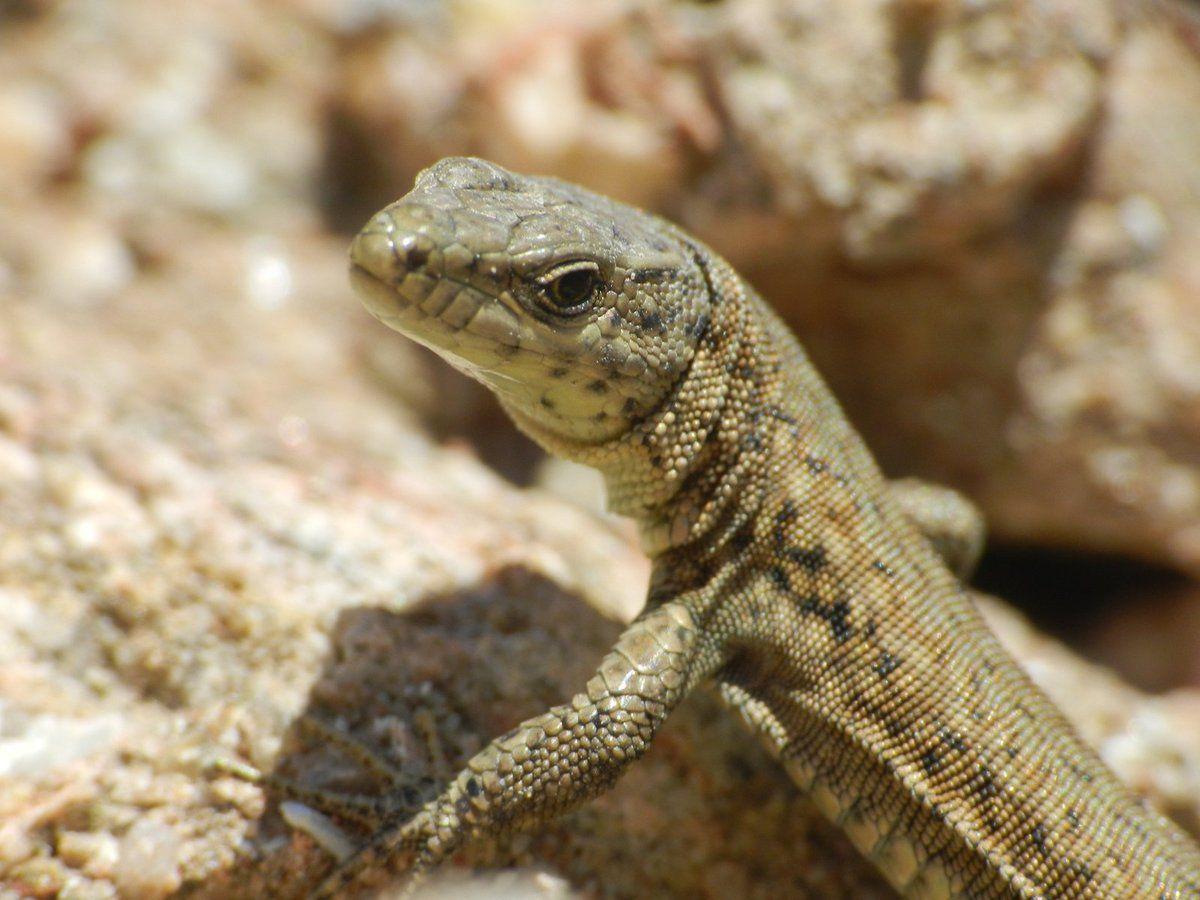 Les lézards des murailles sont toujours dehors à Malras