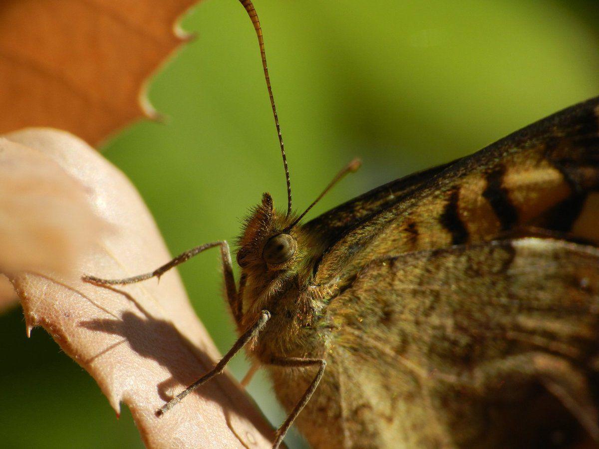 Les papillons tircis sont encore dehors !!