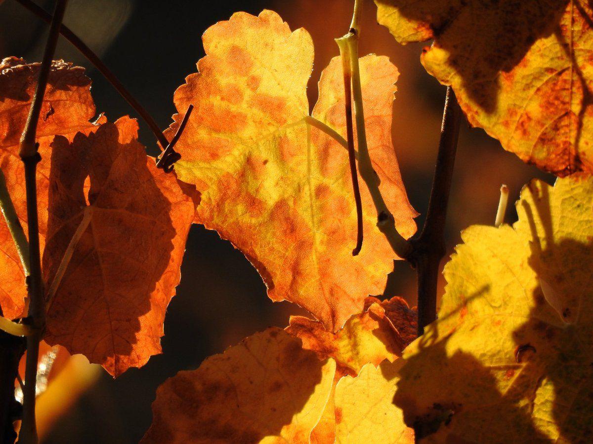 Les couleurs chaudes de la vigne en début d'hiver à Malras