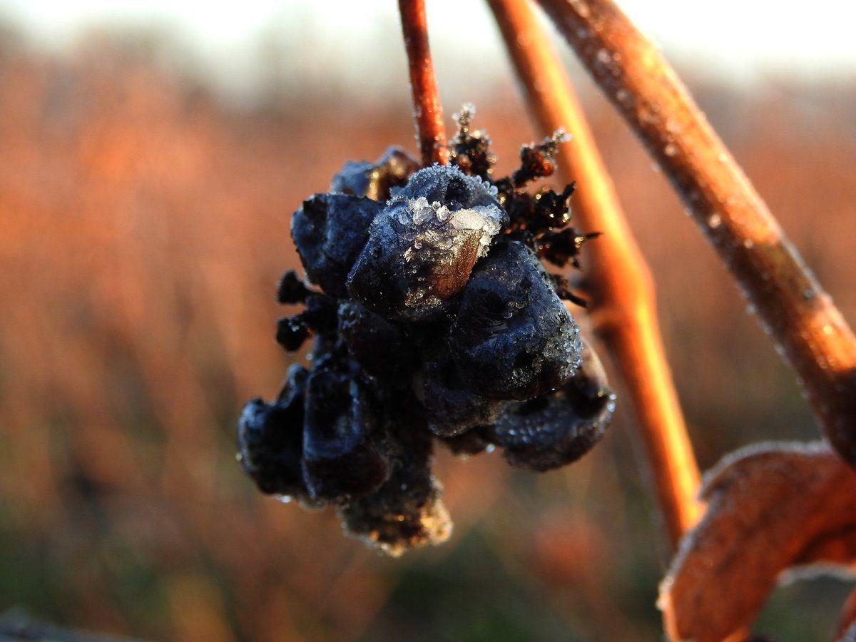 En ce moment à Malras, le matin la vigne est dans le givre !!