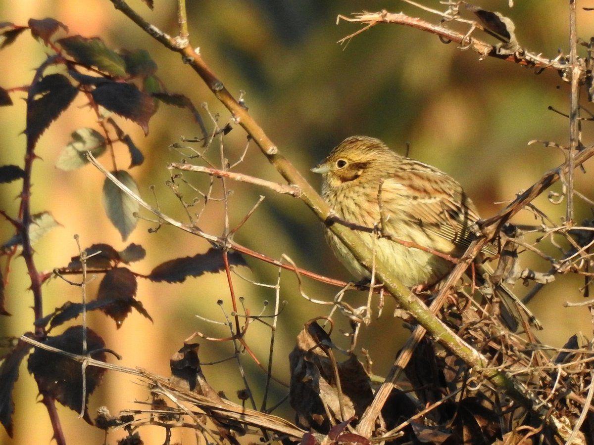 Pas facile à trouver ce bruant jaune dans les branches !!