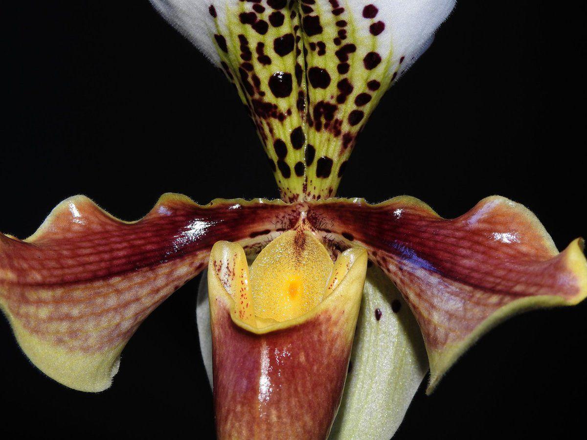 Une des plus belles orchidées, le sabot de Vénus !!