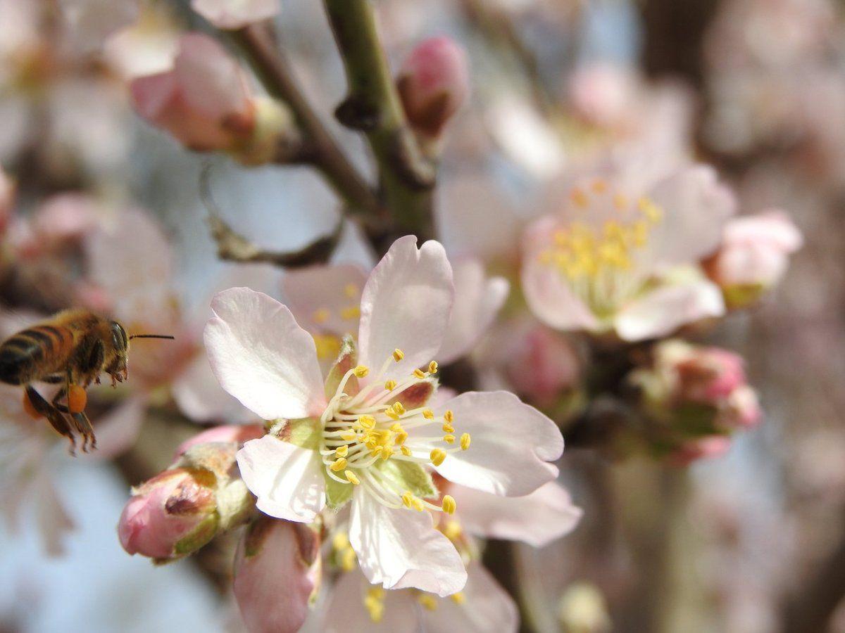 Les abeilles sont enfin de la partie sur les amandiers, le printemps est là !!