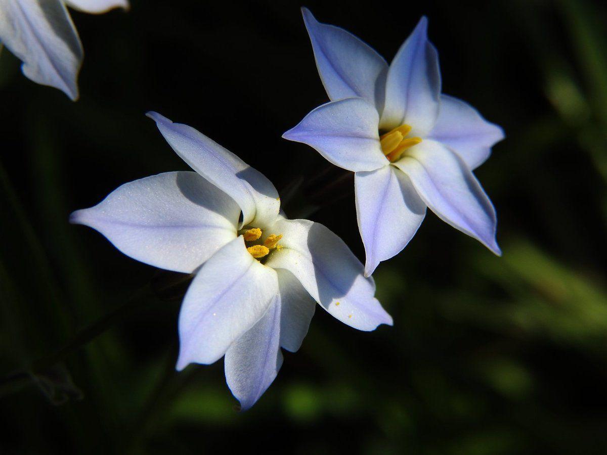 Les tristagma uniflorum fleurissent en ce moment à Malras