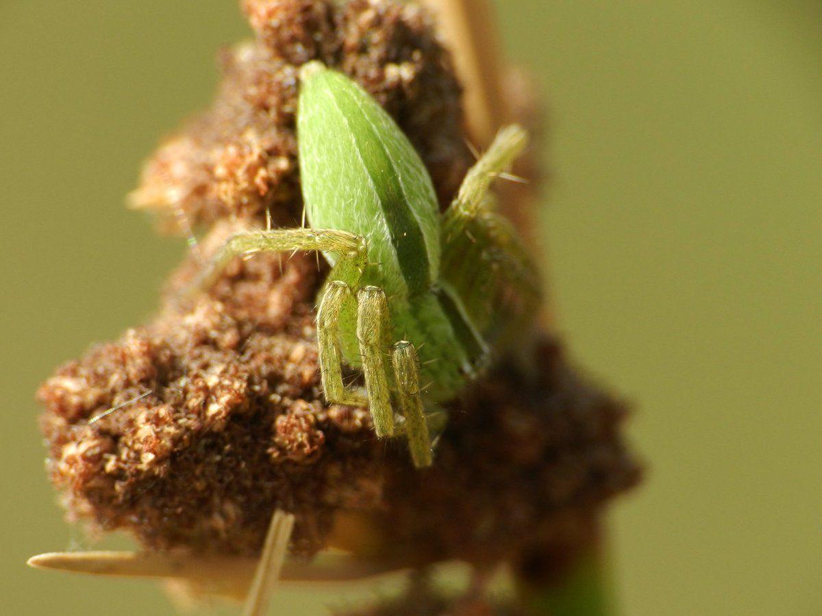 La micrommata virescens est une araignée très discrète !!