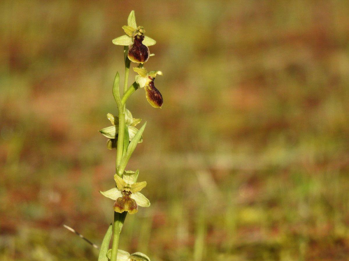 Les ophrys de mars en attendant les ophrys lutéa !!