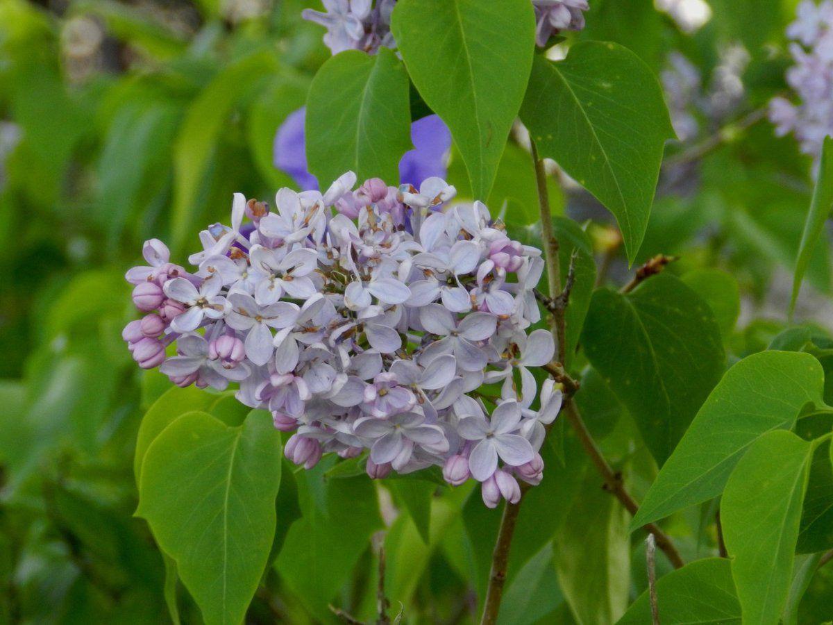 Lilas et iris sauvages parfument la garrigue de Malras