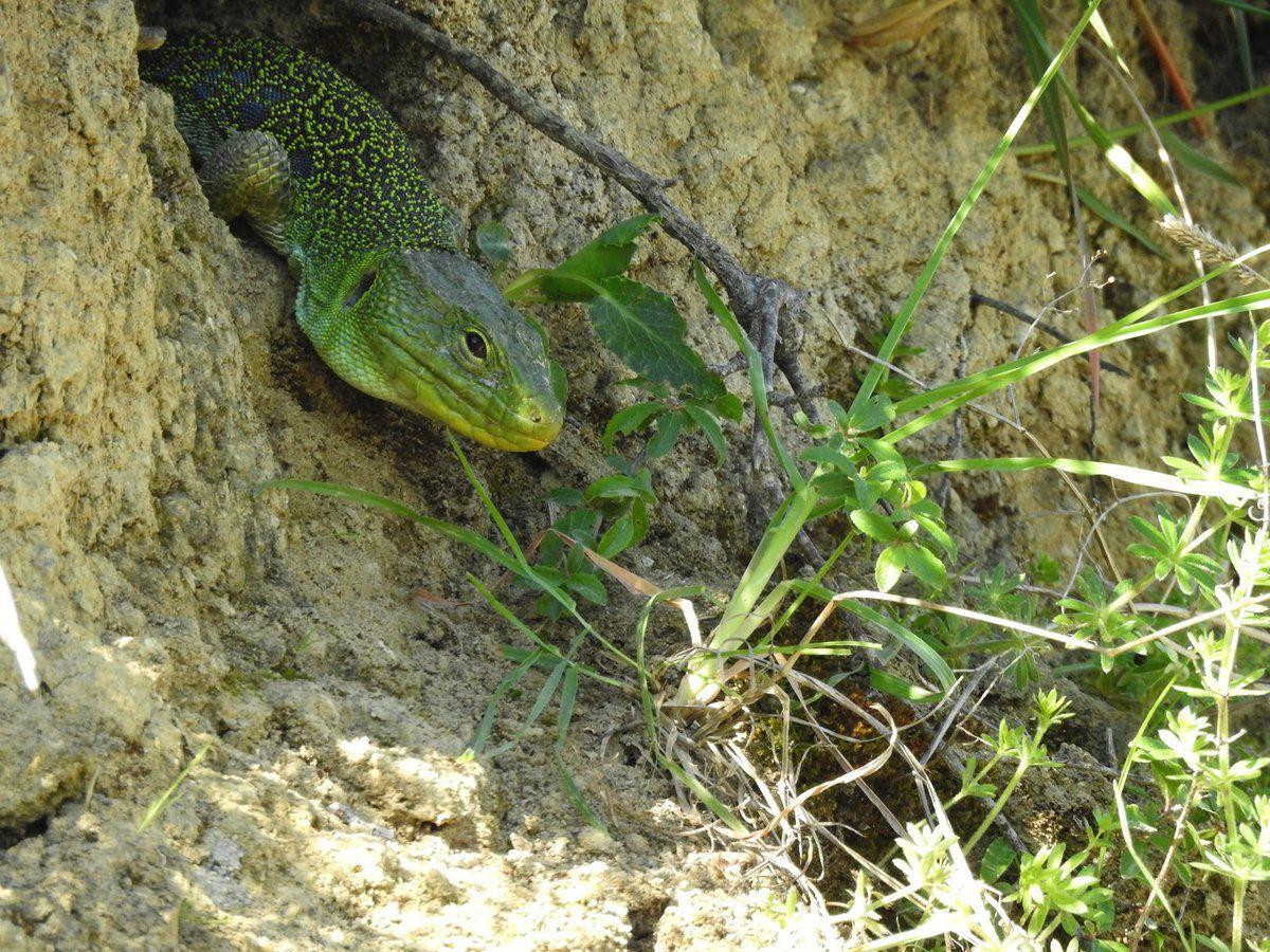 Rencontre avec un lézard ocellé dans la garrigue de Malras aux pieds des Pyrénées !!