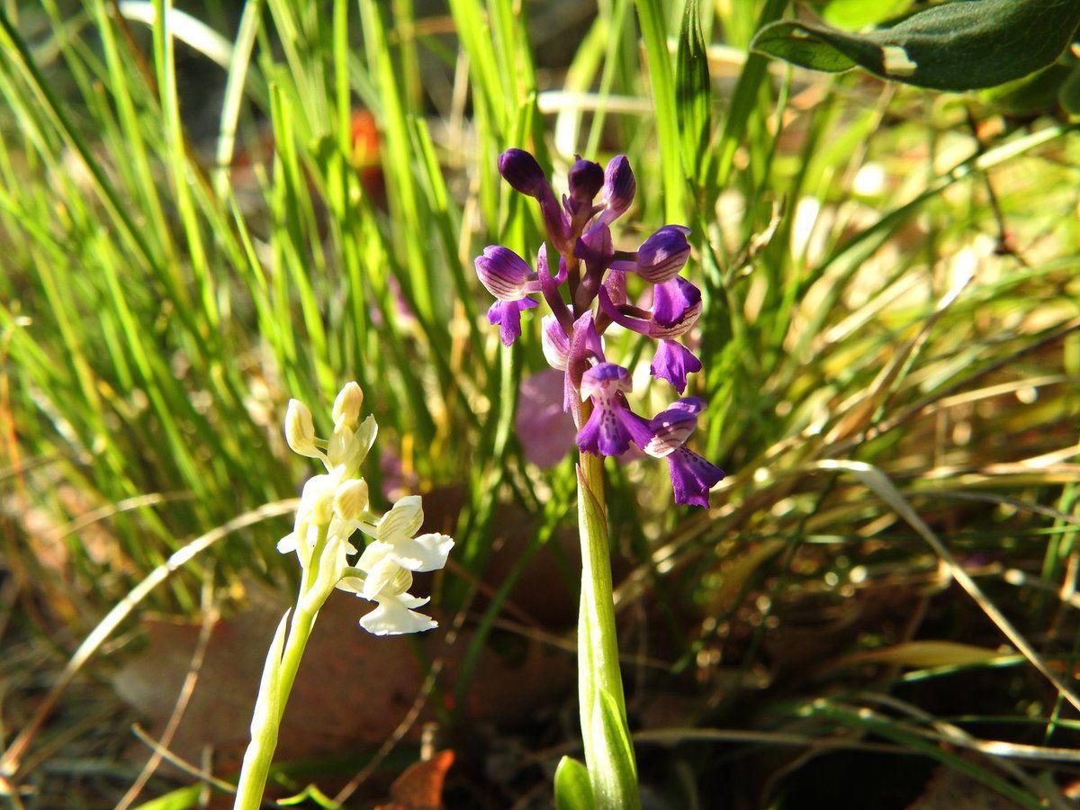 Voici une combinaison naturelle orchis morio et orchis hypochrome !!