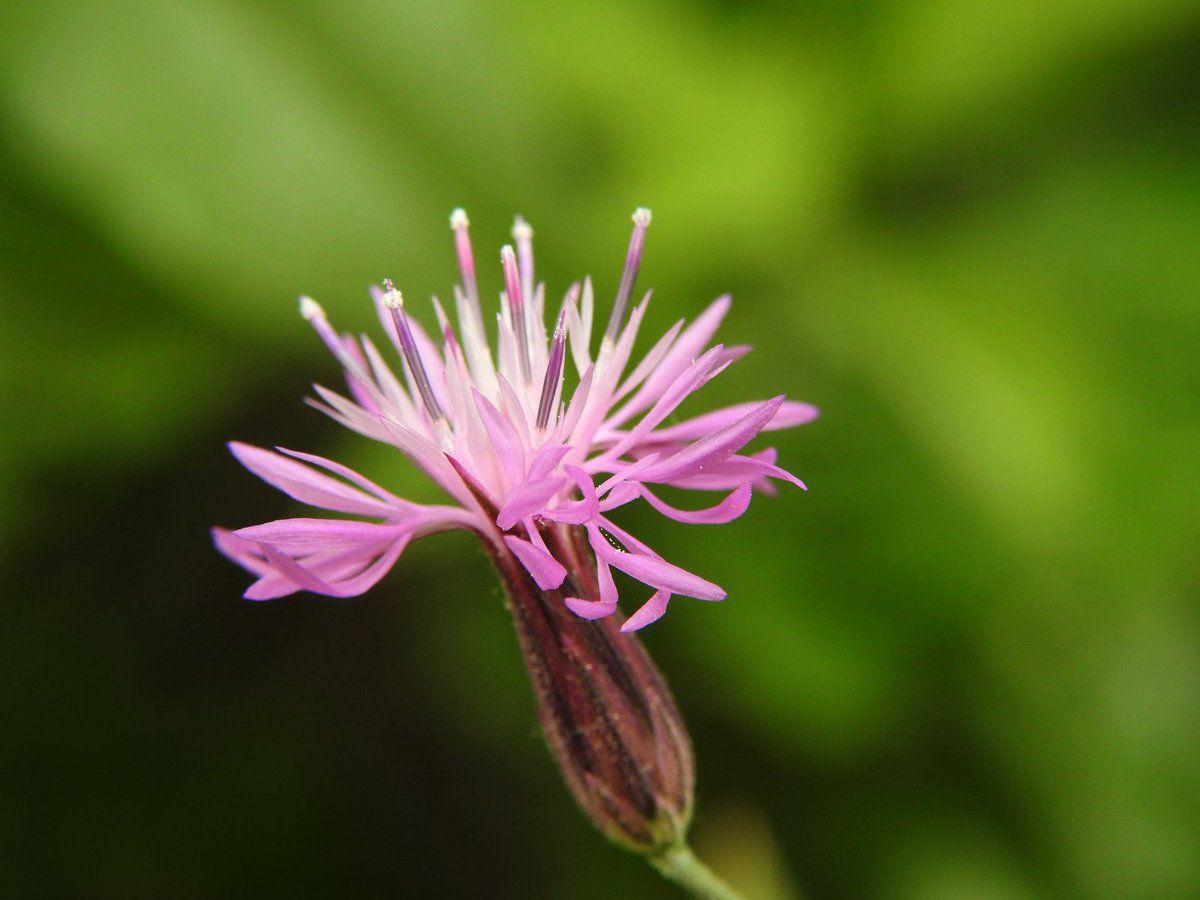 La crupine du midi, une fleur pleine de délicatesse !!