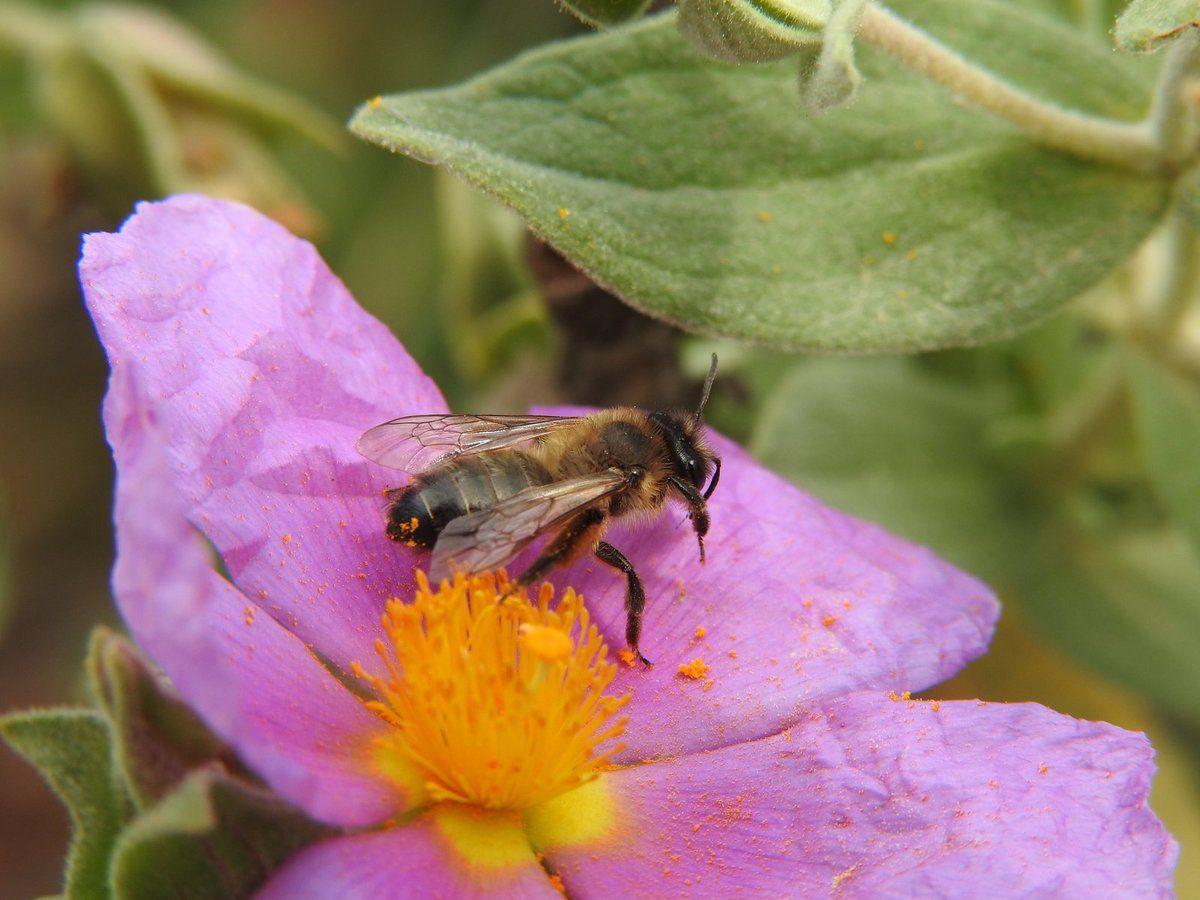 L'abeille et la fleur de ciste du la garrigue de Malras