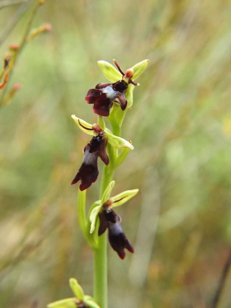 A Malras les ophrys insectifera sont rares !!!