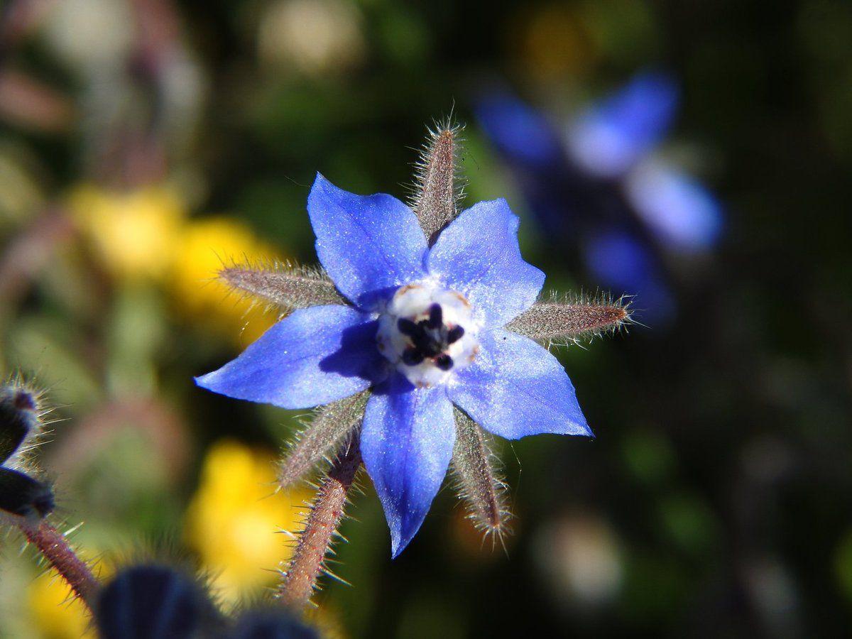 La bourrache, une fleur épice dont il ne faut pas abuser !!!