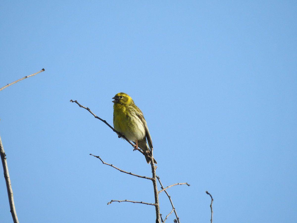 Un serin cini en plein chant en haut de son arbre dans un champs !!