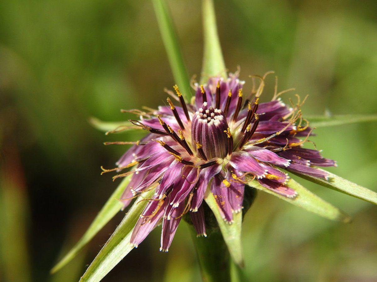 Le salsifis austral une plante magnifique et commestible