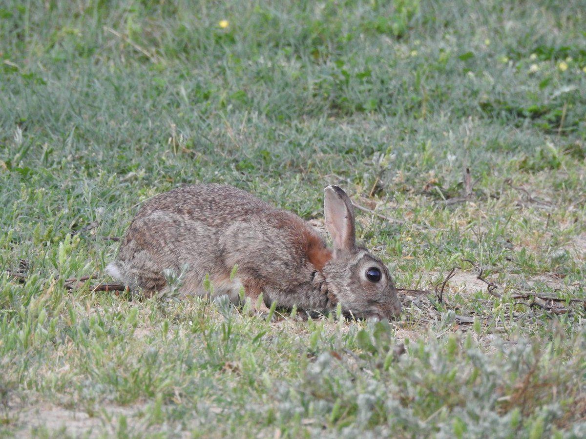 Rencontre avec des lapins de garenne au petit matin !!