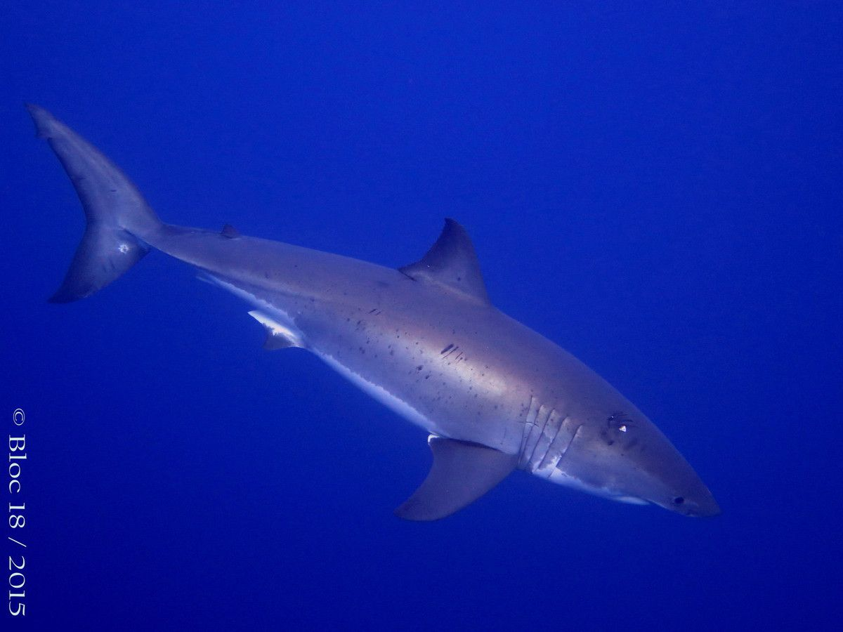 Trip Great White Shark - Guadalupe