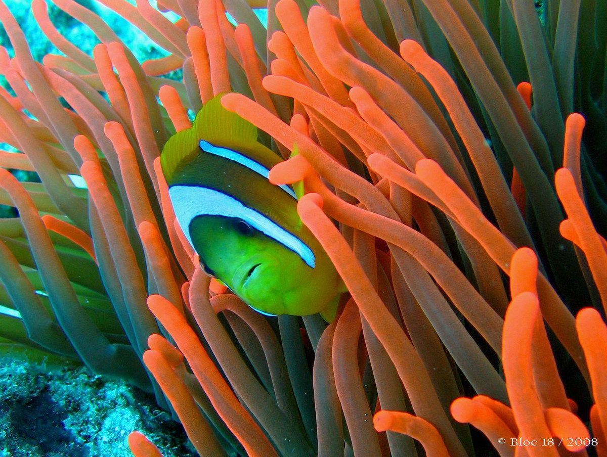 poisson clown (amphiprion bicinctus)