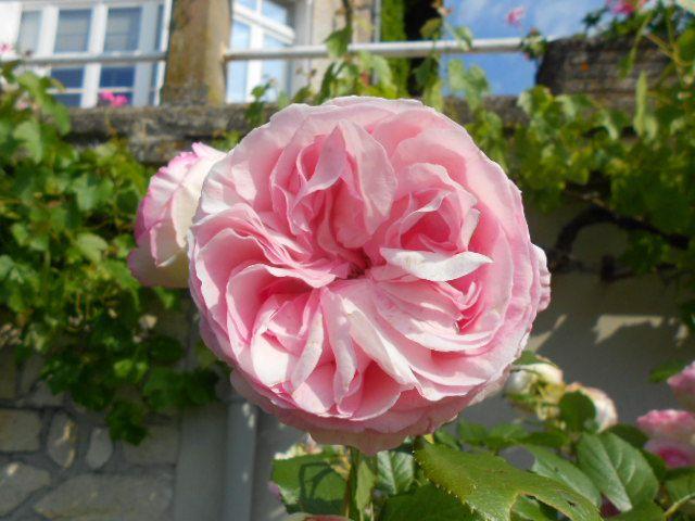 Rose Léonard de Vinci.