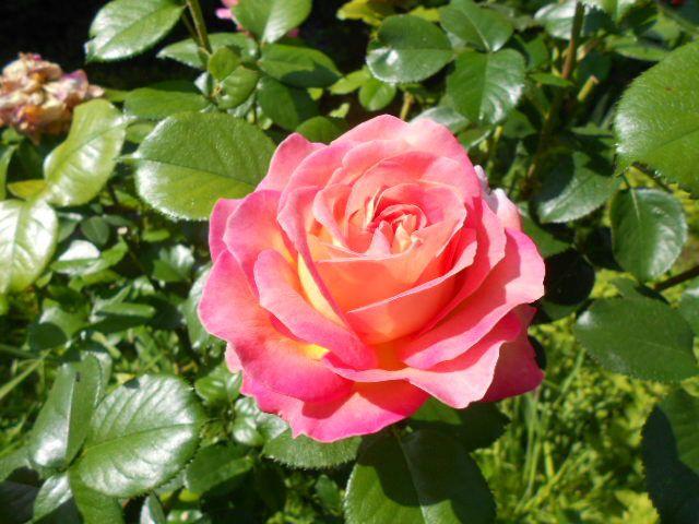 Rose Elle.