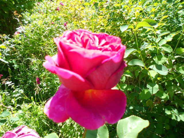 Rose Shakespeare.