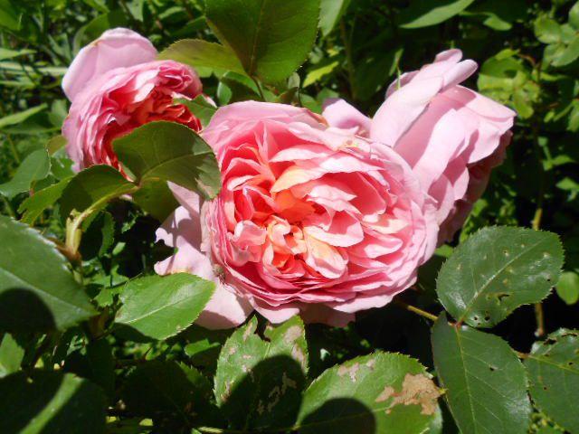 Rose demoiselle de Chenonceau.