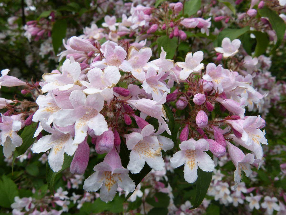 Floraison en cime, corymbes axillaires de petites fleurs à corolle à 5 lobes, gorge veinée de jaune orangé.