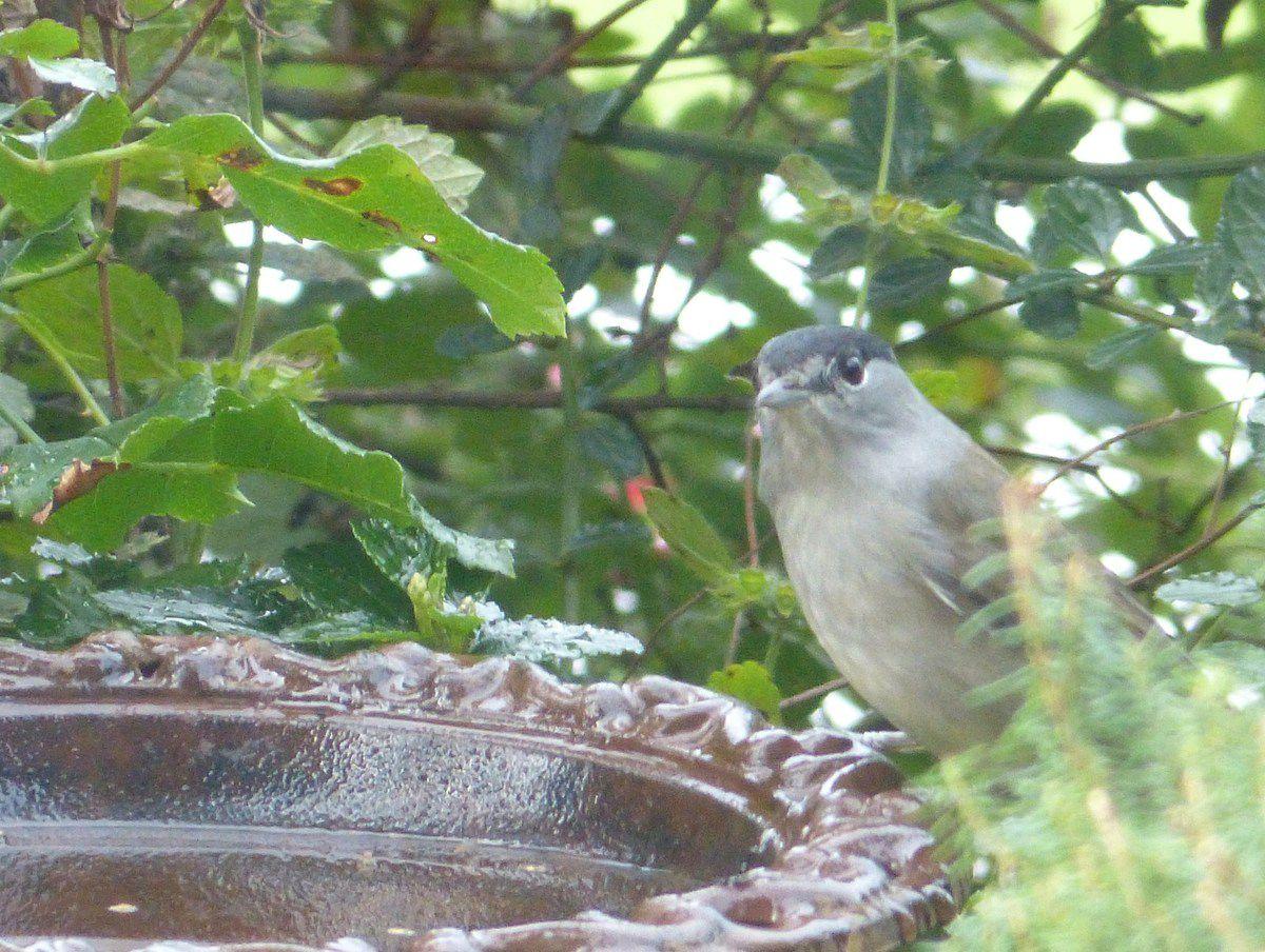 Pour le bain c'est chacun son tour, après le Pouillot  véloce, c'est moi ! ( voir photos bain à oiseaux et ses charmants visiteurs)