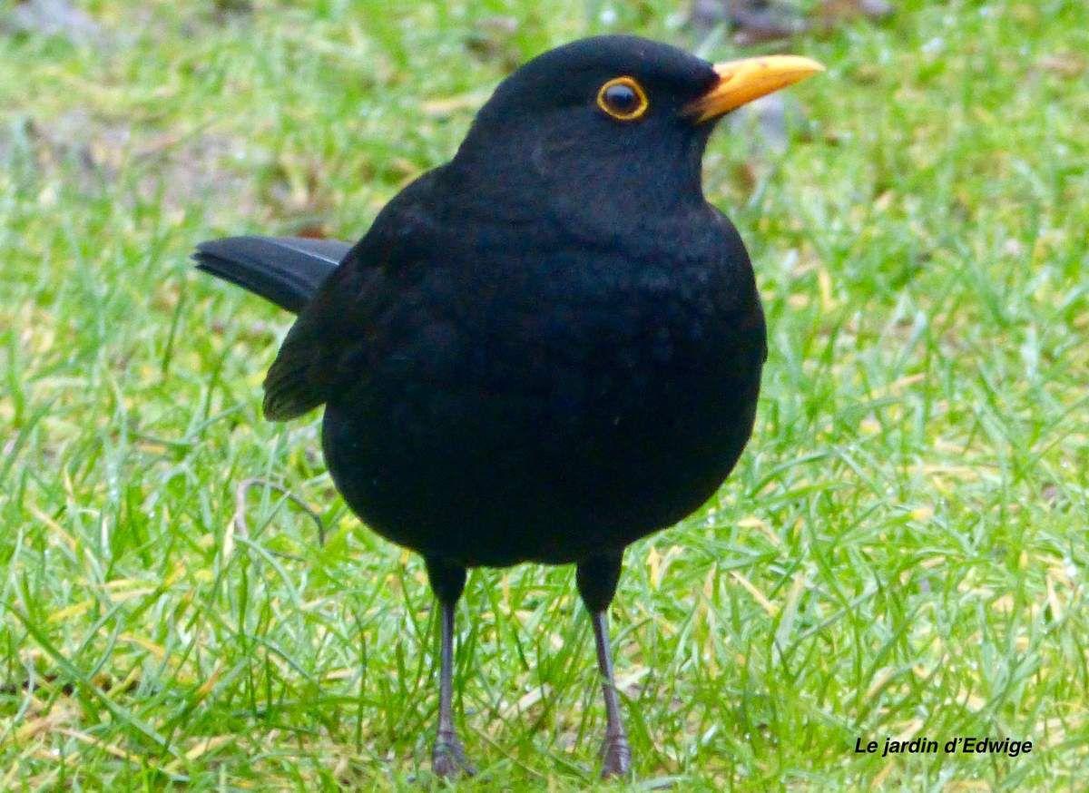 Un mâle noir de jais, bec et cercle orbital jaune vif, recherche sa nourriture au sol ( vers de terre, larves d'insectes...)