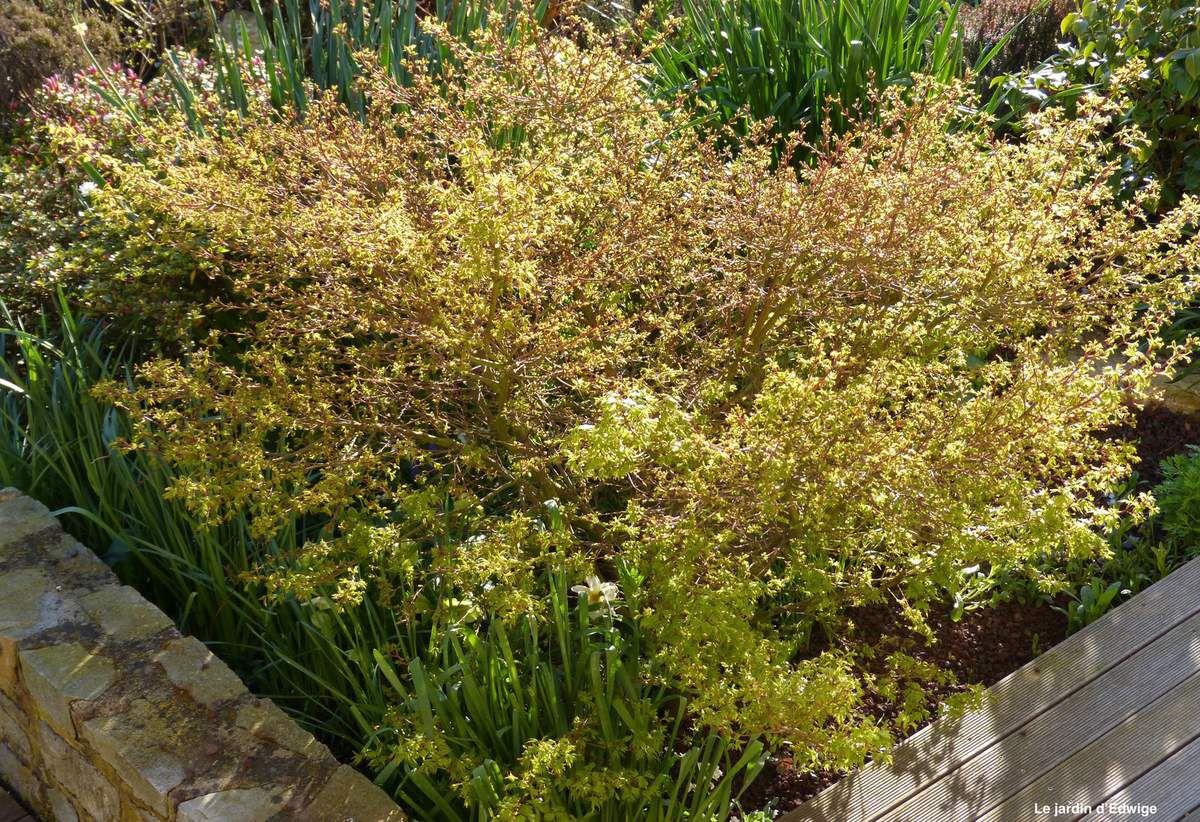 Mi-avril , le débourrement avec les premières feuilles lumineuses sous le soleil matinal.
