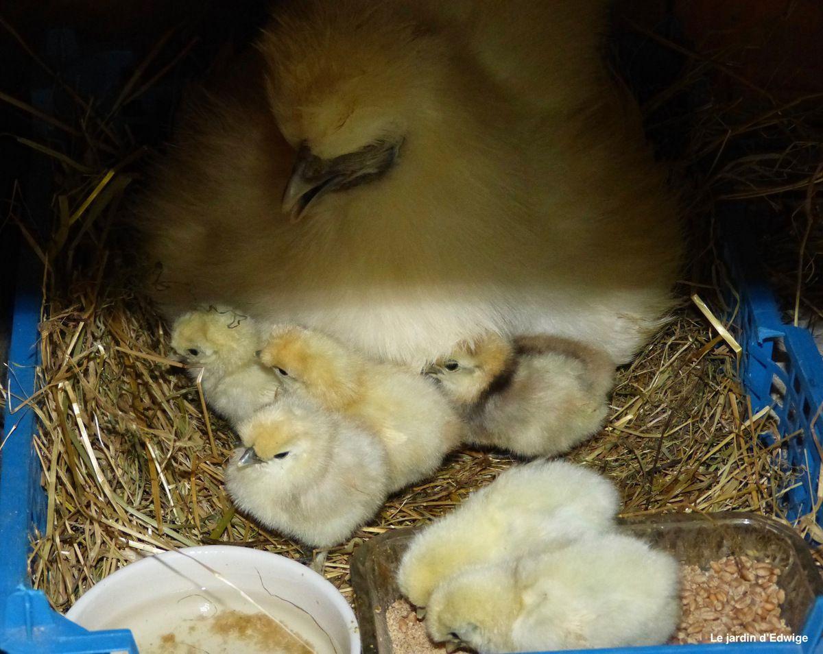 Eau et aliments dans la caissette, la poule poursuivra sa couvée pendant 10 jours en présence de ses poussins.