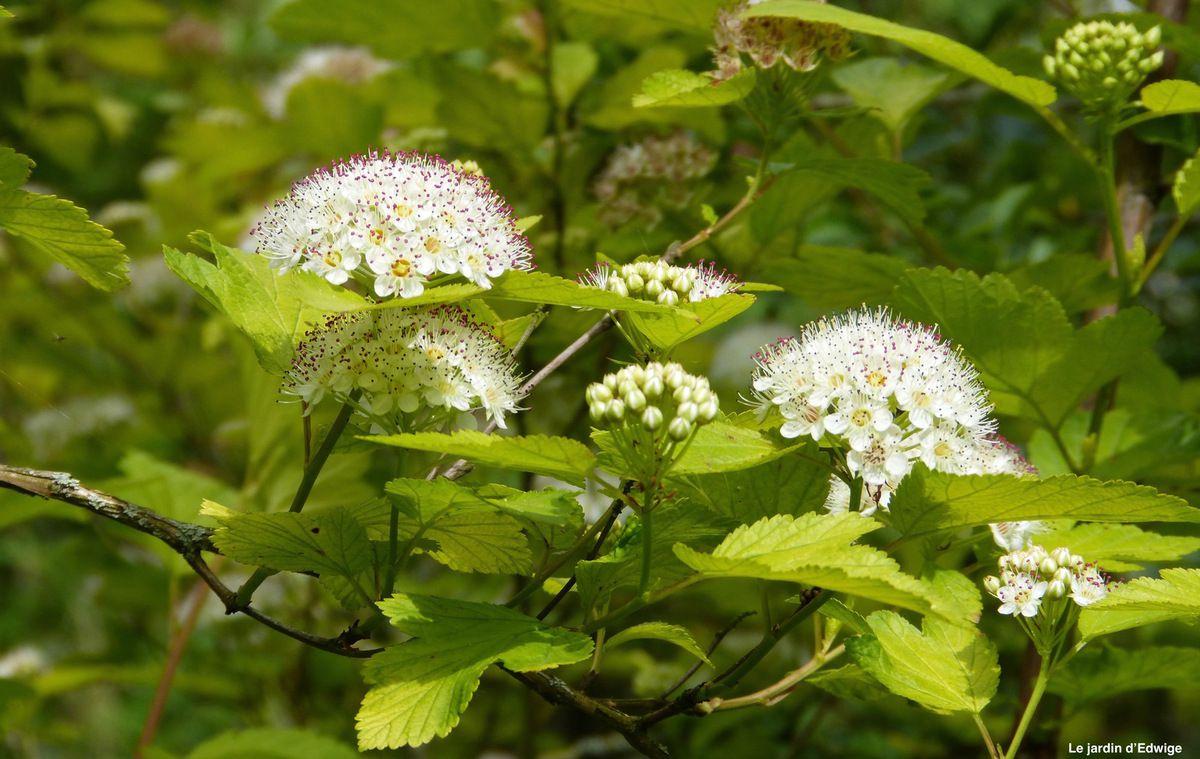 Fleurs en corymbes blancs.