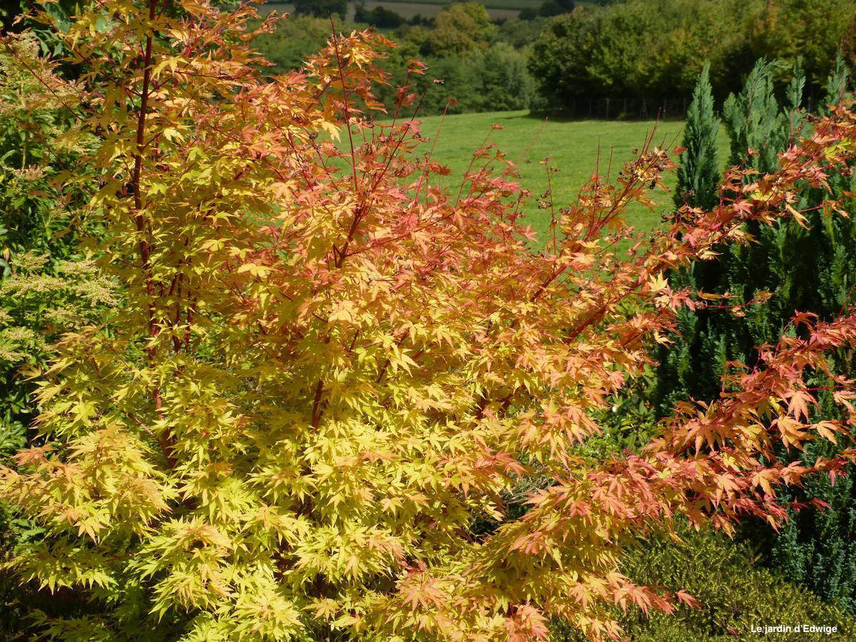 Érable du Japon 'Senkaki' - Acer palmatum ' Senkaki ' ou ' Sango Kaku '