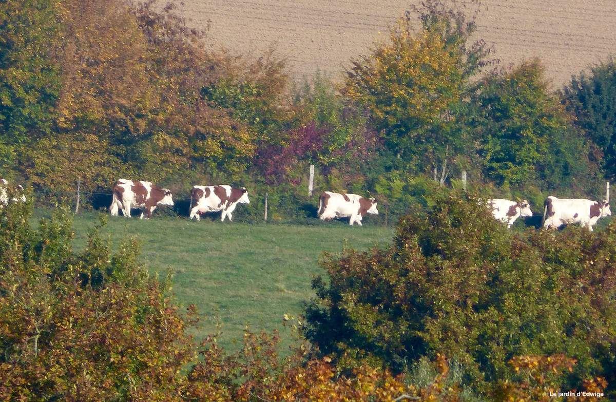 Un défilé de vaches Montbéliarde, race originaire de Franche-Comté.Taches de couleur rouge sur une robe blanche avec la tête et les membres qui sont généralement blancs.