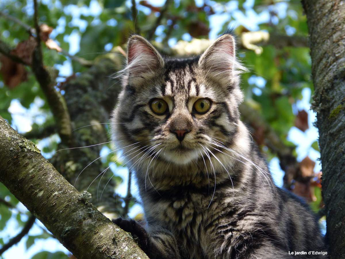 Le chat Mistigri
