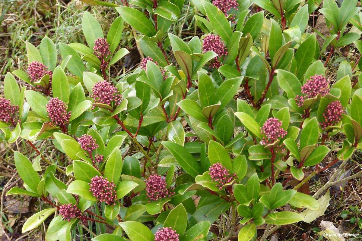 Floraison d'une autre variété, skimmia 'Rebella?'