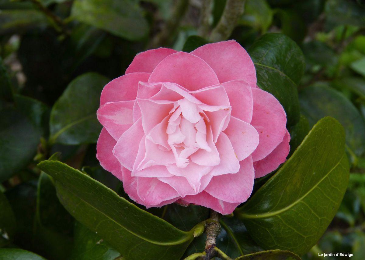Délicate fleur de taille moyenne et de couleur rose clair nuancé de rose plus soutenu.