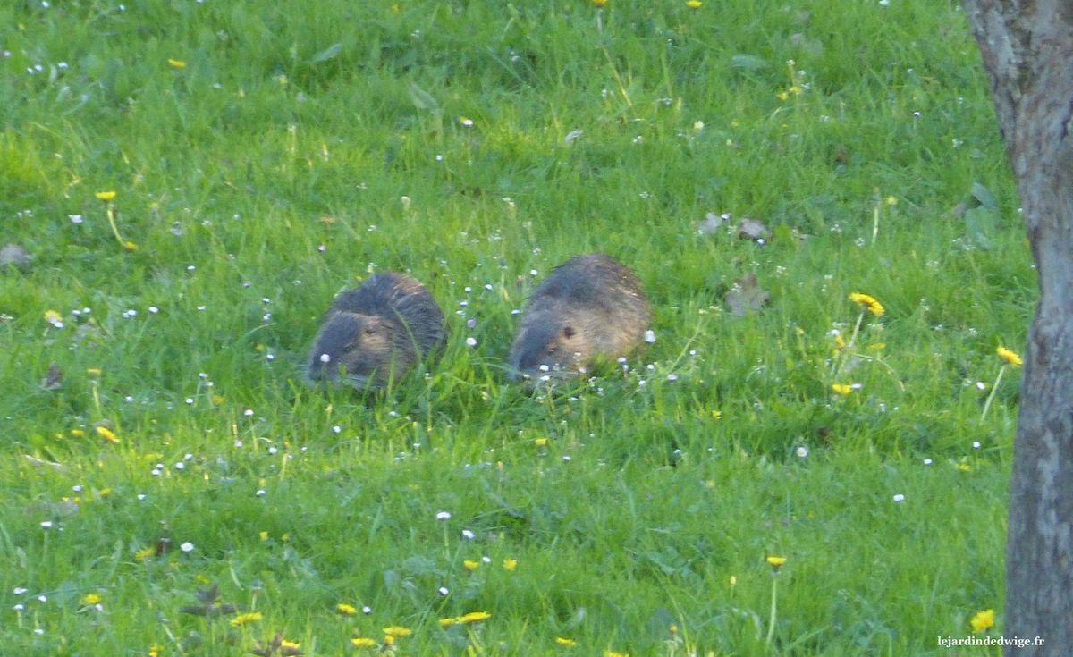 Une fin de journée d'avril, 2 ragondins s'activent dans la prairie près d'un cours d'eau.