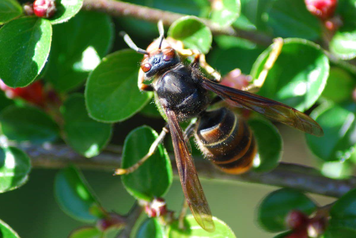 Frelon à pattes jaunes dit frelon asiatique - Vespa velutina nigrithorax