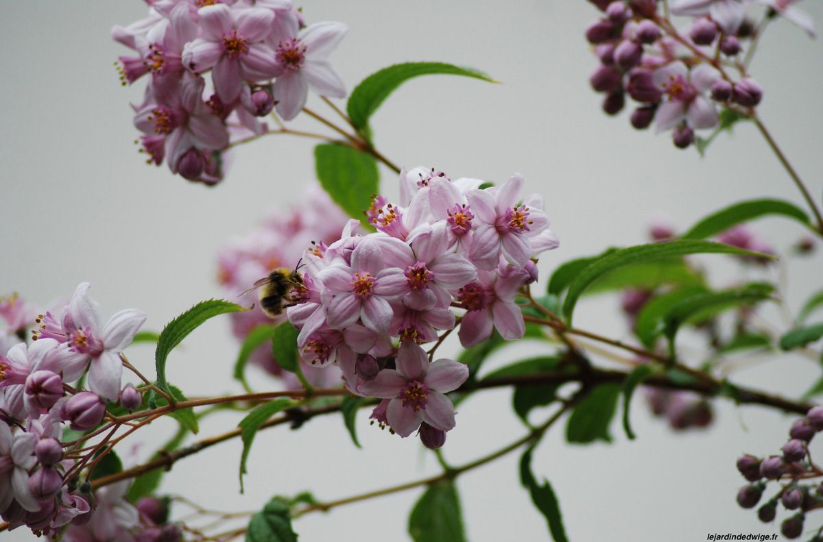 Deutzia ' Mont Rose '