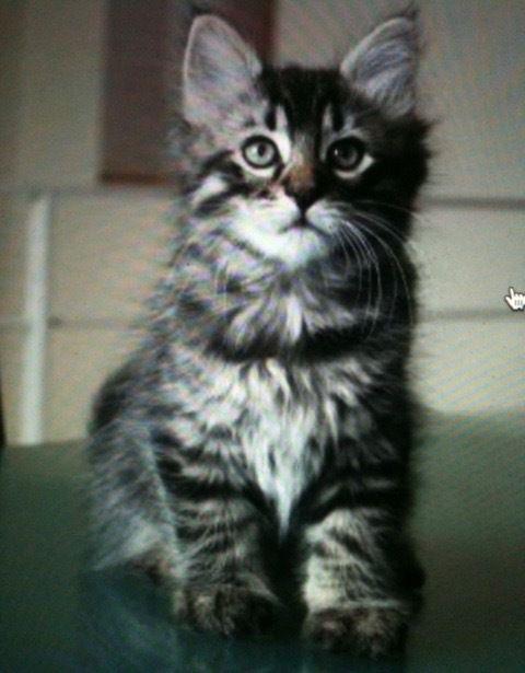 J'ai vu Mistigri pour la 1ère fois sur cette photo et de suite j'ai flashé sur lui, quelques jours après, il vivait auprès de nous. Je m'étais pourtant jurée de ne plus accueillir de chat après la disparition de Ti'chat et Lili en 2013