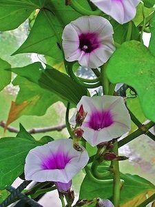 faire d 39 une patate douce une plante le blog botanique de nanie petit petit. Black Bedroom Furniture Sets. Home Design Ideas