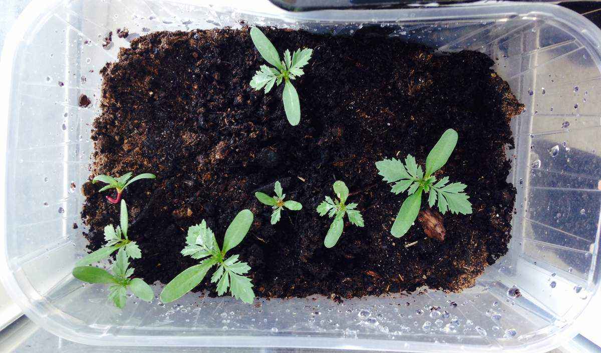 oeillets d'Inde, réalisé par semis de graine récupéré un mois plus tôt...