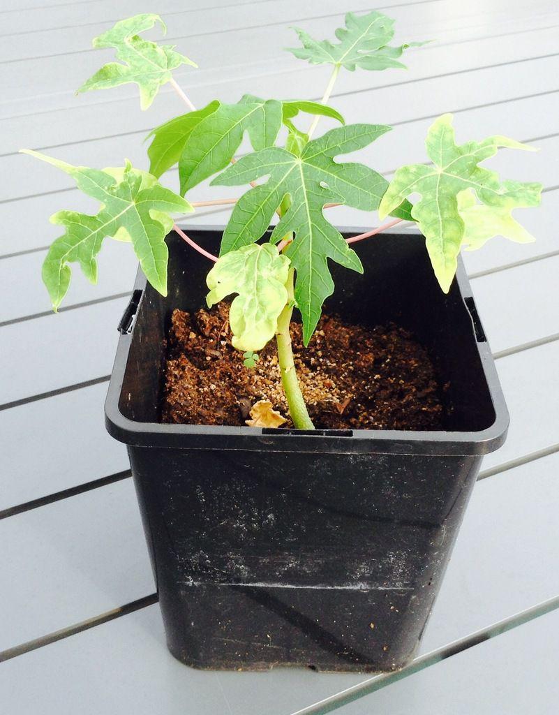 Le dernier plant a quatre mois (photo prise fin août)